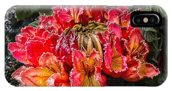 African Tulip Tree Flowers IPhone Case