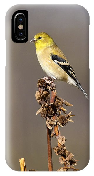 American Goldfinch 9 IPhone Case
