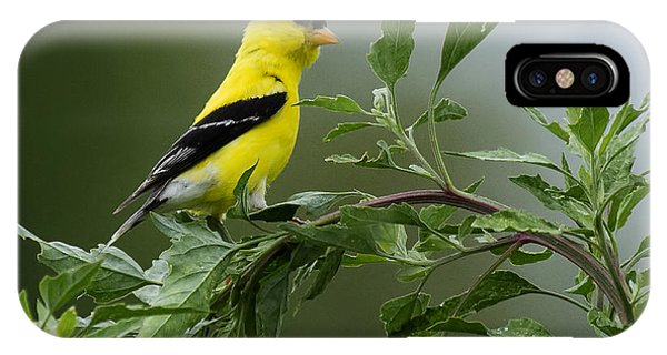 American Goldfinch Delight 2 IPhone Case