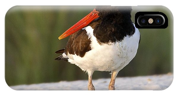American Oyster Catcher IPhone Case