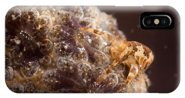Amphipod On Botryllus IPhone Case