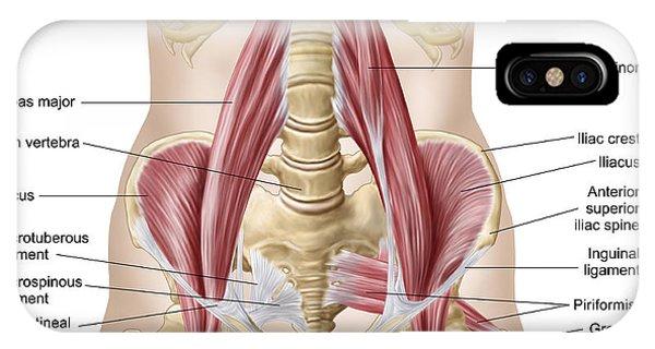 Inguinal Ligament iPhone Cases   Fine Art America