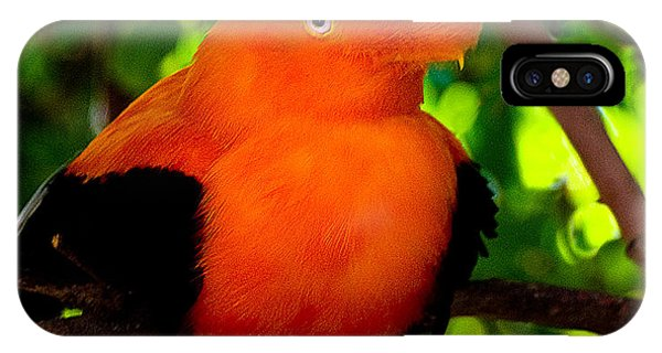 Andean Cock Of The Rock IPhone Case