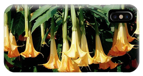 Yellow Trumpet iPhone Case - Angel's Trumpet (brugmansia Aurea) by Philippe Psaila/science Photo Library