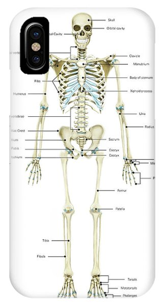 Appendicular Skeleton Iphone Cases Page 2 Of 2 Fine Art America