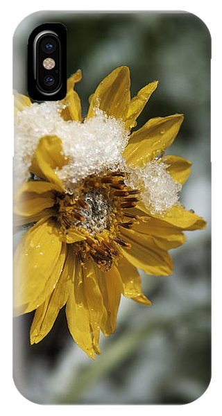 Arrowleaf Balsamroot In Snow IPhone Case