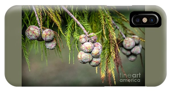 Bald Cypress Tree Seed Pods IPhone Case