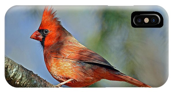 Beautiful Female Cardinal IPhone Case