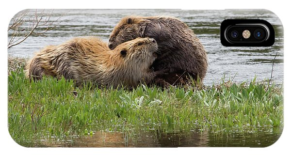 Beaver Pair Grooming One Another IPhone Case