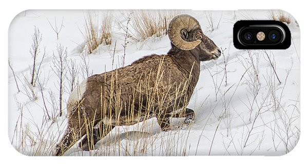 Bighorn In Yellowstone IPhone Case