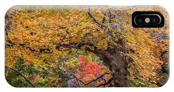Bigtooth Maples Turning Colors IPhone Case