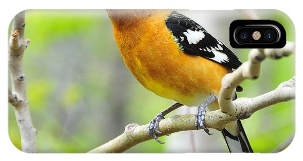Blach-headed Grosbeak IPhone Case