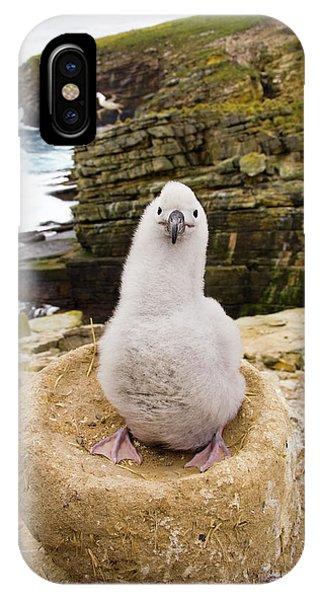 Albatross iPhone Case - Black-browed Albatross Chick Falklands by