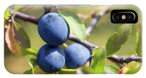 Blue Berry iPhone Case - Blackthorn Berries by Daniel Sambraus/science Photo Library