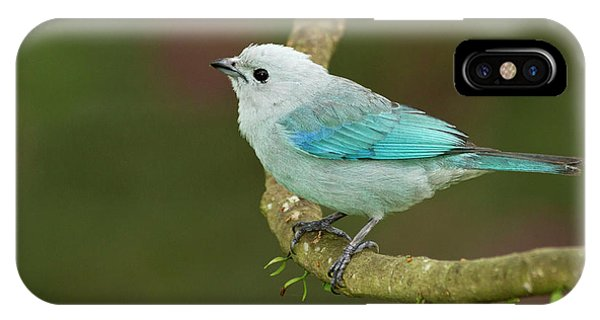Belize iPhone Case - Blue-grey Tanager (thraupis Episcopus by William Sutton