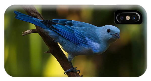 Blue Grey Tanager IPhone Case