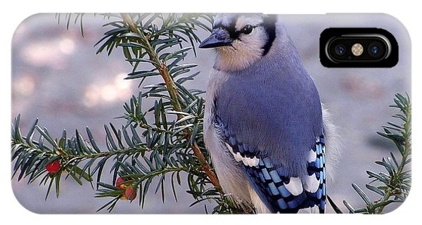 Blue Jay - Morning Visitor  IPhone Case
