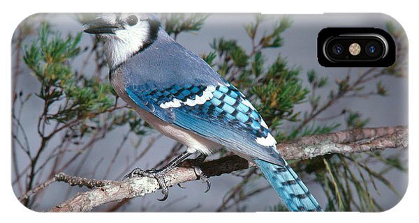 Bluejay Calling IPhone Case