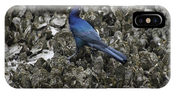 Boat-tailed Grackle Feeding IPhone Case