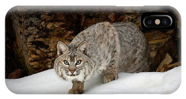 Bobcats iPhone Case - Bobcat In Snow (captive by Adam Jones