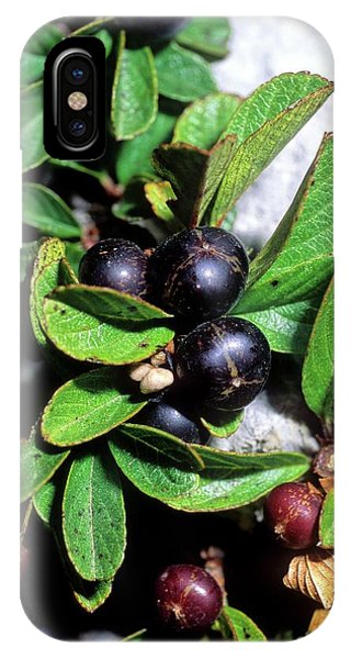 Blue Berry iPhone Case - Buckthorn (rhamnus Pumilus) Berries by Bruno Petriglia/science Photo Library