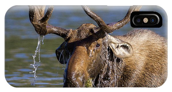 Bull Moose Sampling The Vegetation IPhone Case