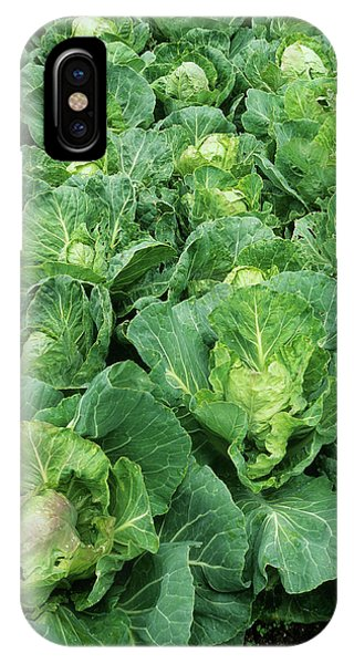Golden Gardens iPhone Case - Cabbage (brassica 'golden Acre Primo II') by Geoff Kidd/science Photo Library