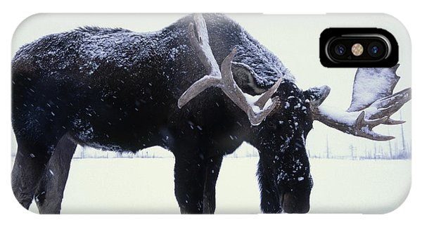 Winter iPhone Case - Captive Bull Moose Foraging For Food by Doug Lindstrand