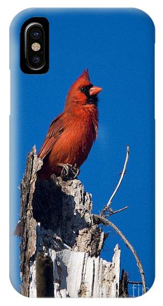 Cardinal On Honeymoon Island IPhone Case