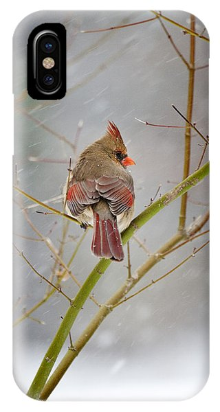 Cardinal On Maple Tree IPhone Case