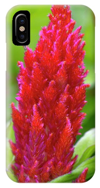 Cultivar iPhone Case - Celosia 'fresh Look Red' by Adrian Thomas