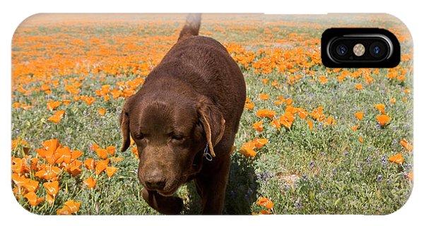 Chocolate Labrador Retriever Walking IPhone Case