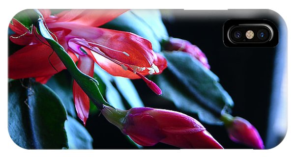 Christmas Cactus In Bloom IPhone Case