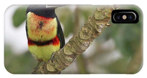 Belize iPhone Case - Collard Aracari (pteroglossus Torquatus by William Sutton