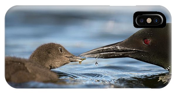 Loon iPhone Case - Common Loon Feeding Chick by Dr P. Marazzi