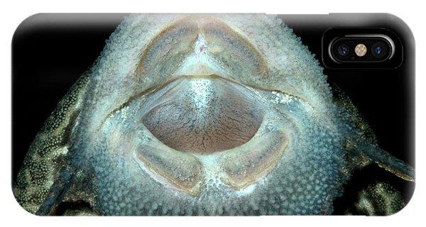 Common Pleco Or Suckermouth Catfish IPhone Case