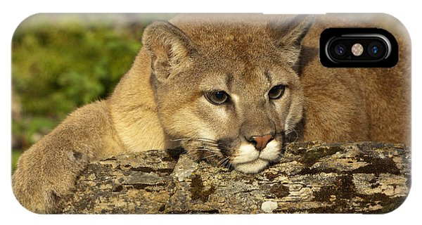 Cougar On Lichen Rock IPhone Case