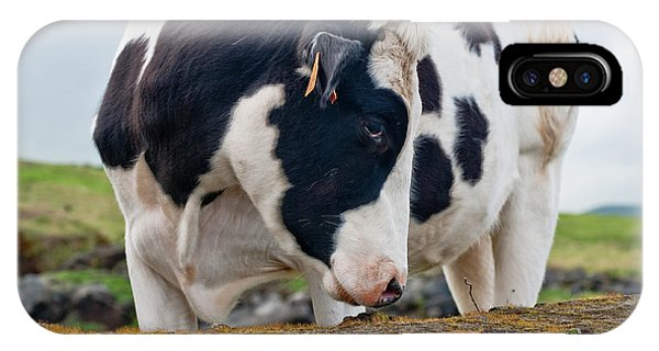 Cow With Head Turned IPhone Case