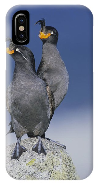 Auklets iPhone Case - Crested Auklet Pair by Toshiji Fukuda