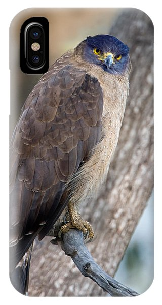 Serpent iPhone Case - Crested Serpent Eagle Spilornis Cheela by Panoramic Images