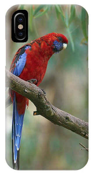 Canberra iPhone Case - Crimson Rosella Parrot Canberra by Martin Willis