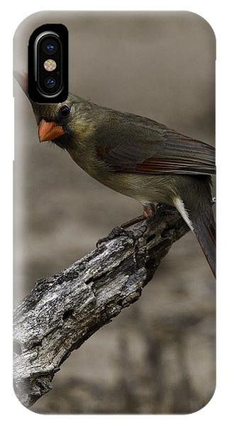 Curious Pyrrhuloxia IPhone Case