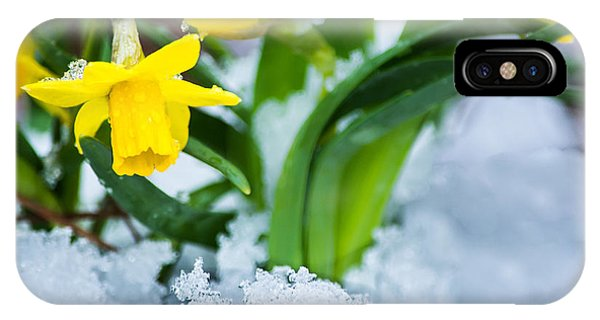 Daffodils In The Snow  IPhone Case