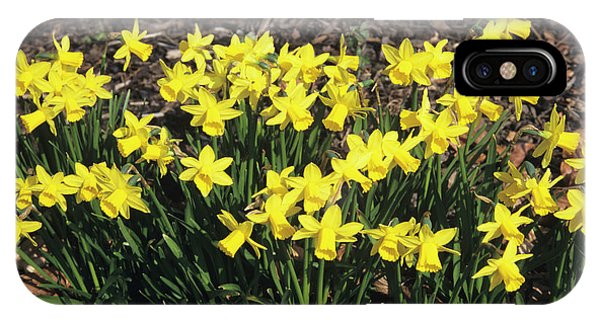 Cultivar iPhone Case - Daffodils by Jim D Saul/science Photo Library