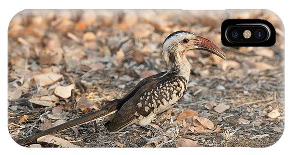 Damara Red-billed Hornbill Foraging IPhone Case