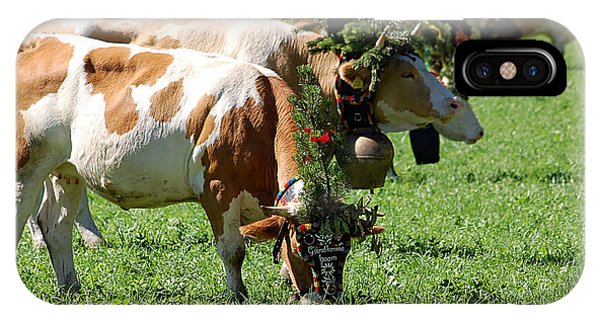Decorated Cows During The Cattle Drive IPhone Case