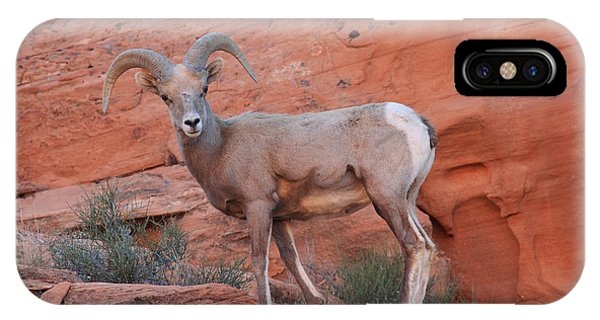 Desert Bighorn Sheep At Nevada's Valley Of Fire IPhone Case