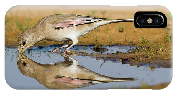Migratory Birds iPhone Case - Desert Finch (carduelis Obsoleta) by Photostock-israel