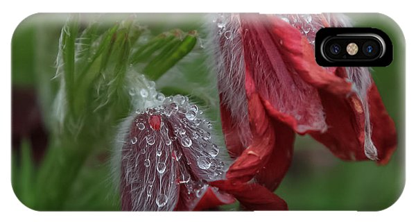 Dew Covered Pasque Flower IPhone Case
