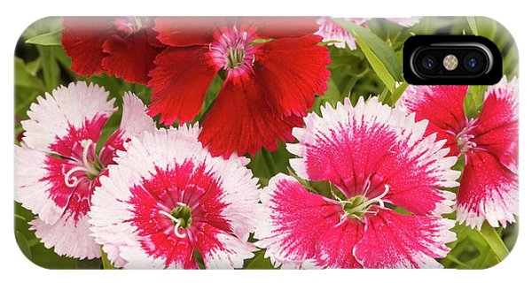 Cultivar iPhone Case - Dianthus 'summer Splash' Flowers by Ann Pickford